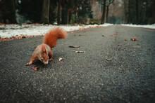 Eichhörnchen Im Park Ist Neugierig Und Schaut In Die Kamera. Im Hintergrund Ein Winterlicher Weg Mit Schnee Und Herbstbäumen.