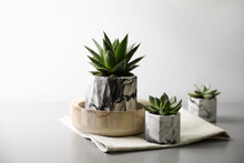 Beautiful Potted Succulents On Light Grey Table