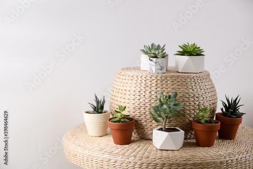 Fototapeta Beautiful succulents on wicker stand. Interior decoration obraz