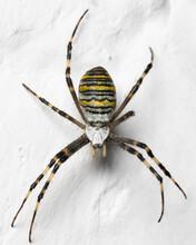 Argiope Bruennichi (wasp Spider) Sitting On  A White Background / Lime Wall