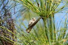 Marmor-Riedfrosch, Hyperolius Marmoratus Verrucosus. Weit Verbreitet Im Süden Und Südosten Afrikas. Sitzt Sehr Zahlreich Auf Pflanzen Wie Elegia Sp. Oder Blüten Von Protea. Hier In George, Südafrika.