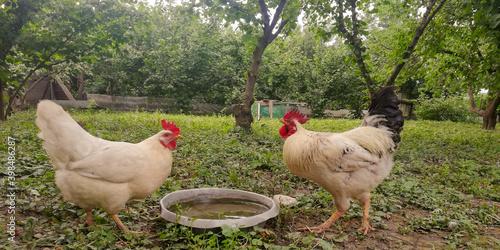 Slika na platnu rooster and hen