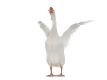 White Goose With Spread Wings Isolated On White Background