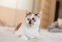 Cute Tricolor Cat At Home.  Pet At Home