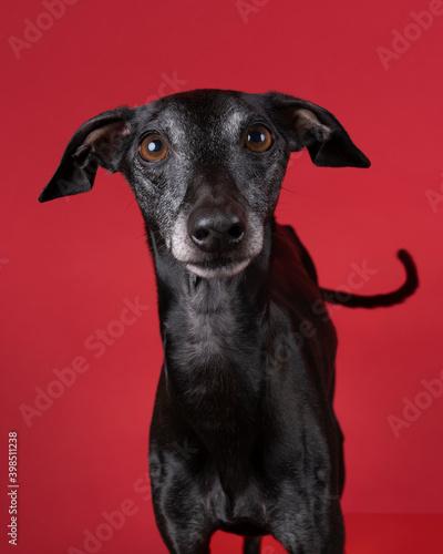 Fotografie, Tablou Italian greyhound dog against a red background