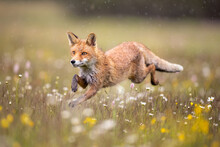 Red Fox On Flowers Covered Meadow During Grey Rainy Day. The Wet Animal Among Flowers And Grass. Is The Largest Of The True Foxes And One Of The Most Widely Distributed Members Of The Order Carnivora.