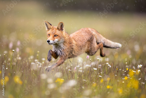Canvastavla Red fox on flowers covered meadow during grey rainy day