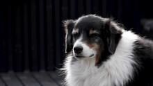 Australian Shepherd Dog Close Up