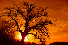 Silhouette Of Bare Tree Against Rising Sun