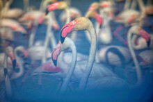Greater Flamingos (Phoenicopterus Roseus) In Water On Sunny Day