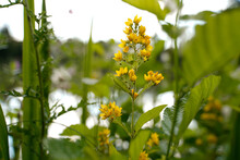 Closeup Shot Of Yellow Loosestrife Flowers In A Garden