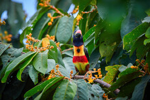 Fiery-billed Aracari, Pteroglossus Frantzii, Toucan Among Green Leaves And Orange Fruits. Large Red-black Bill, Black, Yellow And Red Plumage. Typical For Pacific Slopes Of Southern Costa Rica
