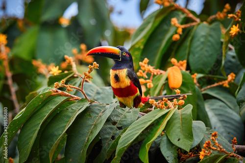 Fiery-billed aracari, Pteroglossus frantzii, toucan among green leaves and orange fruits Fototapeta