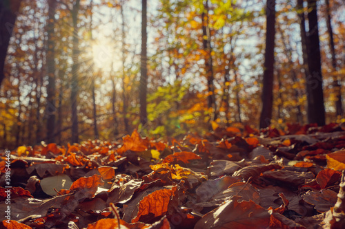 Fototapeta Colorful autumn leaves in a mixed forest. Lens flares ( Sonnenstern) and trees in the background. Copy space. obraz na płótnie