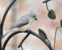 Tufted Titmouse Perching During A Snow Shower