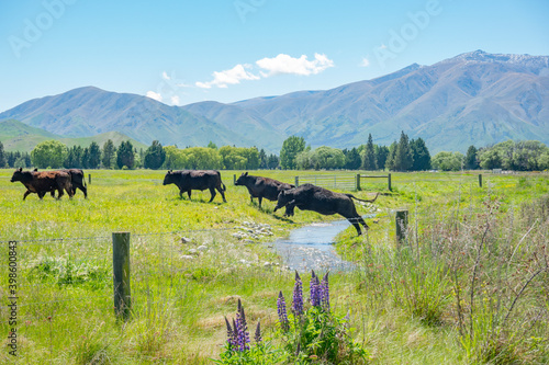 Tablou Canvas Herd of cattle