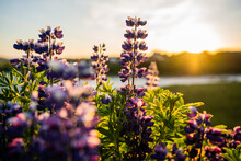 Purple Alaskan Lupine Flowers All Over Iceland; Along The Highway And In Big Fields.