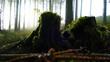 canvas print picture - Baumstuempfe mit Moos überzogen