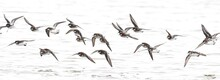 A Flock Of Red-necked Phalaropes Gathers On A Lake In Colorado During Spring Shorebird Migration.
