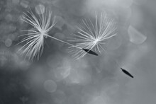 Flying Dandelion Fluffs With Bokeh In Ultimate Gray ,the 2021 Color