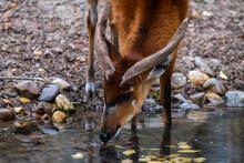 Sitatunga Or Marshbuck (Tragelaphus Spekii) Antelope Drinking Water From A River