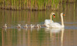 canvas print picture - Mute swan, Cygnus olor. A family of birds swims along the river, in front of dad and mom, behind them are chicks