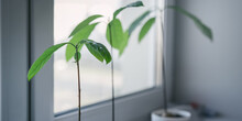 Young Mango Tree Green Leaves On Thin Stem Growth From Pot On Window Sill