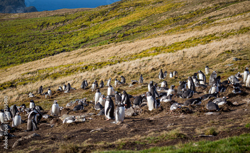 Photo Large gentoo penguin colony on top of hill on South Georgia