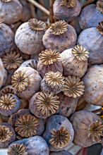 Poppy Seed Pods.