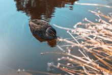 Female Mallard Swims In Kings Park Pond. Duck Drinks Water In Pond.