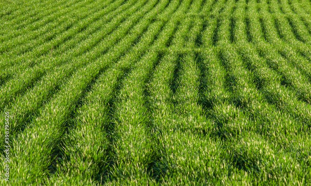 Fototapeta Zielone pole, rośliny posiane w rządkach, światło odbijające się od listków.
