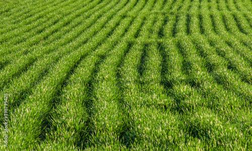 Obraz Zielone pole, rośliny posiane w rządkach, światło odbijające się od listków. - fototapety do salonu