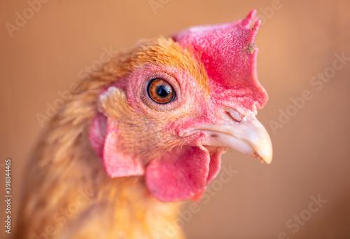 Canvas Print Close up portrait of hen
