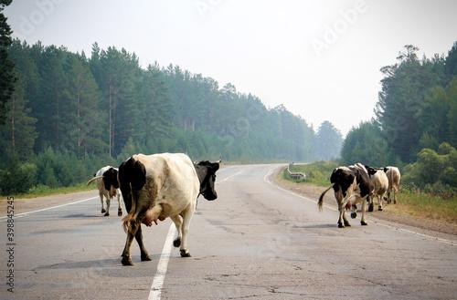 Many cows crossing rural road. Wallpaper Mural