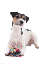Parson Russell Terrier Dog With A Dog Toy