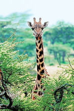 Wild Giraffe Showing Head And Neck Looking Straight At The Camera From Behind A Low Tree, Uganda, Africa
