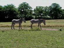 Zebras In The Meadow