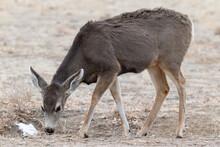 Colorado Wildlife. Wild Deer On The High Plains Of Colorado. Mule Deer Doe Chomping On Grass.