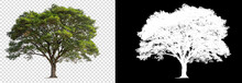 Single Tree On Transparent Picture Background With Clipping Path