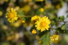 Selective Focus Closeup Yellow Chrysanthemum Indicum, Small Floer In Garden