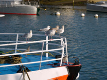Herring Gulls (Larus Argentatus) Perched On The Railing Of A Boat, In Brittany In France