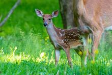 Baby Deer Or Fawn Standing In Field By Doe