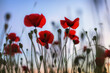 Poppies in a photo with a shallow depth of field.