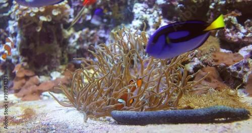Fotografía Topical saltwater fish ,clownfish Anemonefish