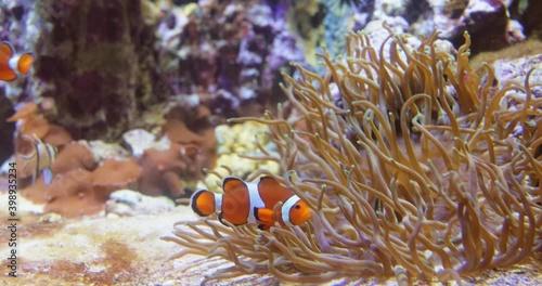 Fotomural Topical saltwater fish ,clownfish Anemonefish