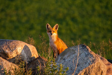 Fox Pup In A Rockpile