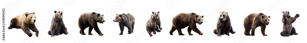 Fototapeta Set of brown bears over white background. Large collection of dangerous predators of grizzly bears.