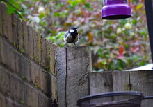 Great Tit Is A Common UK Garden Bird Related To The Blue Tit It Features A Black Crown With Characteristic Ebony Stripe Down The Throat And Neck Yellow Breast Olive Green-tinged Wings And Blueish Tail
