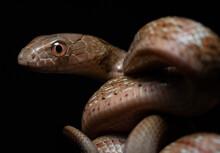 Closeup Of A King Ratsnake (Elaphe Carinata) With Black Background. Snake.