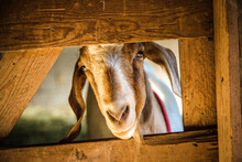 Curious Goat Peering Through Wooden Fence In A Barn
